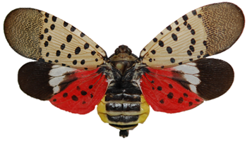 caption: The Spotted Lanternfly